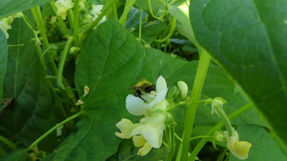 une abeille sur les fleurs de haricots