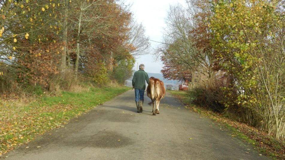 une homme côte à côte avec une vache