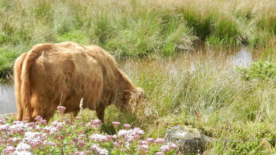 une vache dans les fagnes