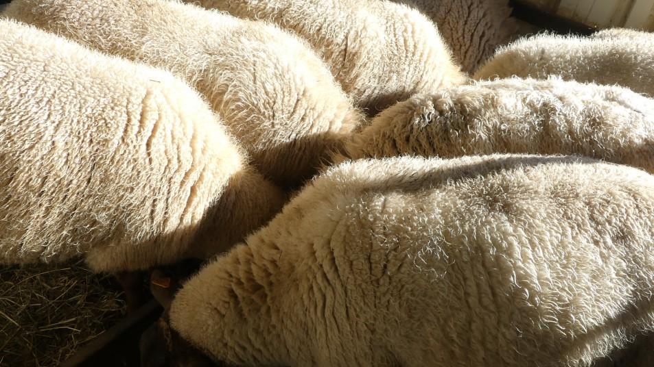 des moutons qui mangent