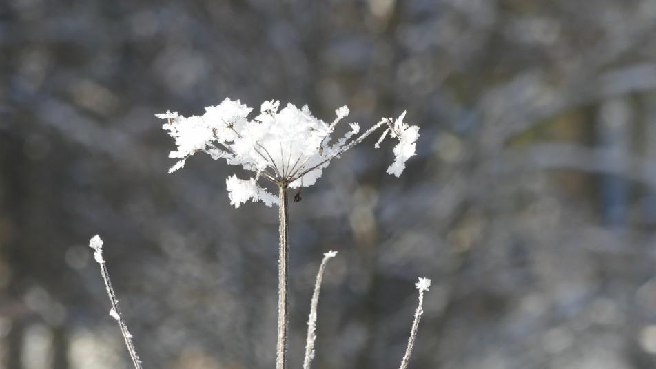une fleure sous la neige