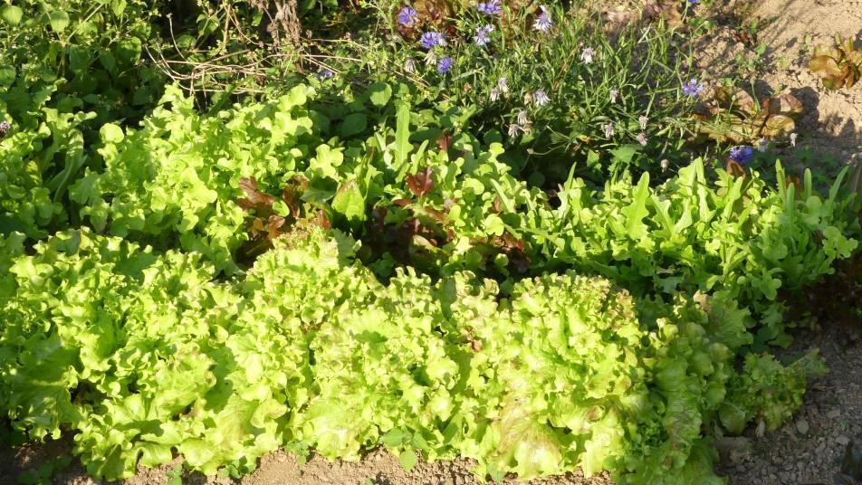 de la salade dans le potager
