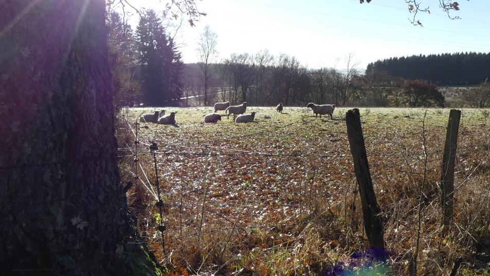 des moutons dans la prairie