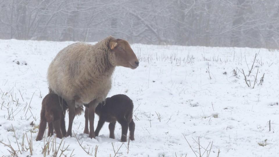 un mouton et ses brebis